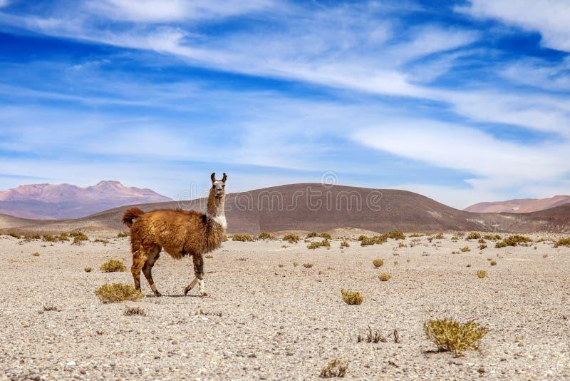 安地斯山的野生喇嘛  山和蓝天在背景中 免版税库存图片