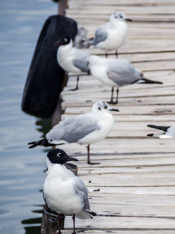 安地斯鸥在一个船坞在科帕卡瓦纳,的喀喀湖 库存图片