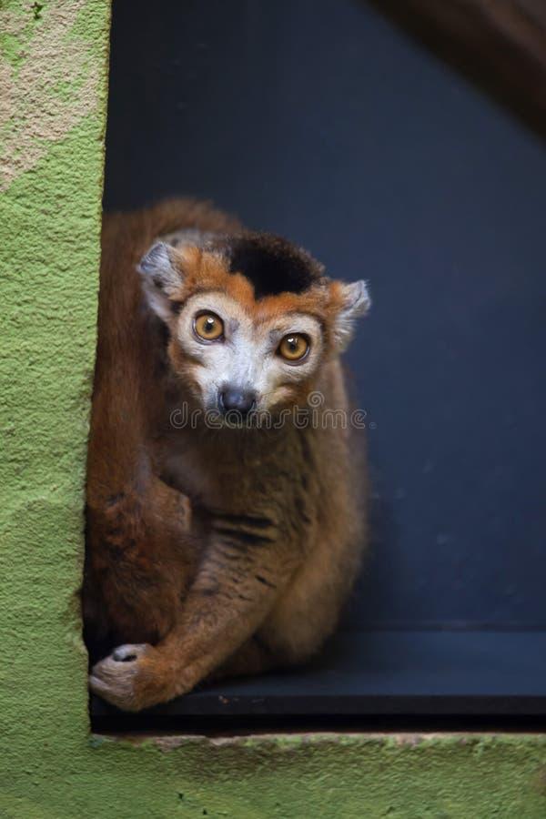 安塔那那利佛coronatus加冠了地方性eulemur狐猴马达加斯加到易损坏的动物园 免版税图库摄影