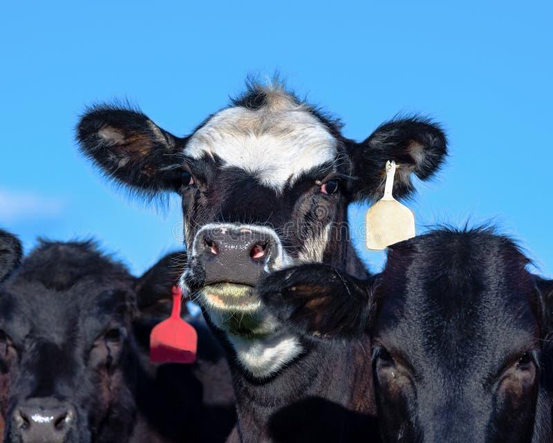 安格斯杂种小牝牛面孔 库存图片