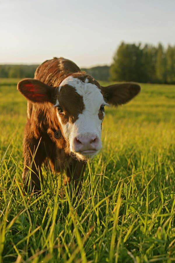 安格斯母牛小牛 库存图片