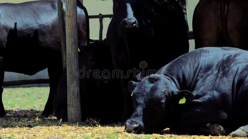 安格斯说谎在太阳的黑色母牛 免版税库存图片