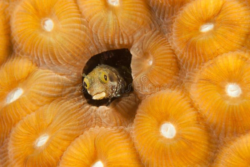 安的列斯群岛粘鱼博内尔岛荷兰秘书 免版税库存图片