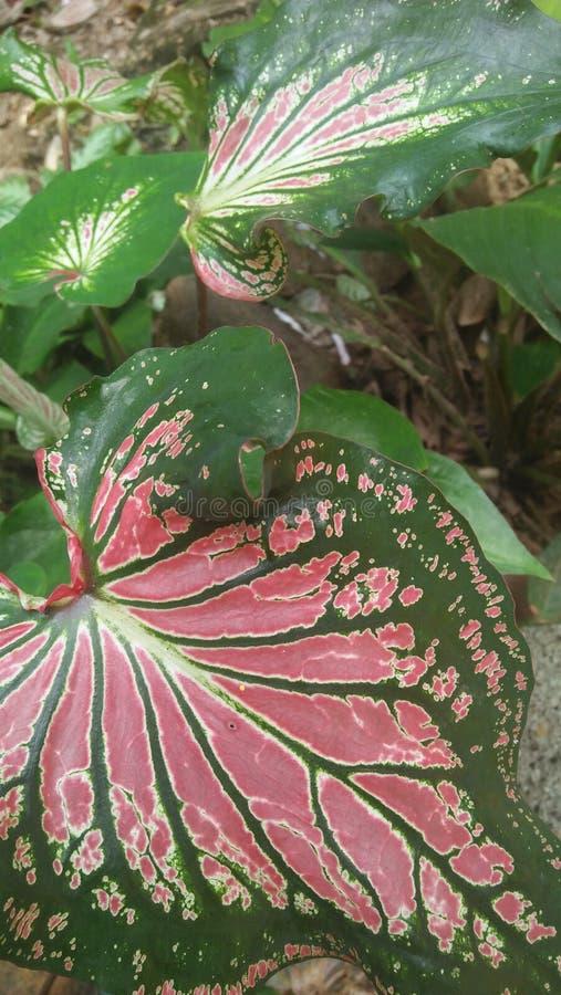 安祖花叶子在斯里兰卡 免版税库存照片