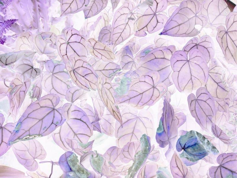 安祖花crystallinum消极叶子艺术  图库摄影