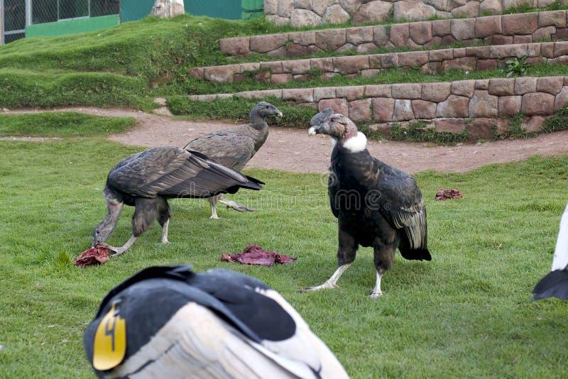 安第斯秃鹰吃 库存照片