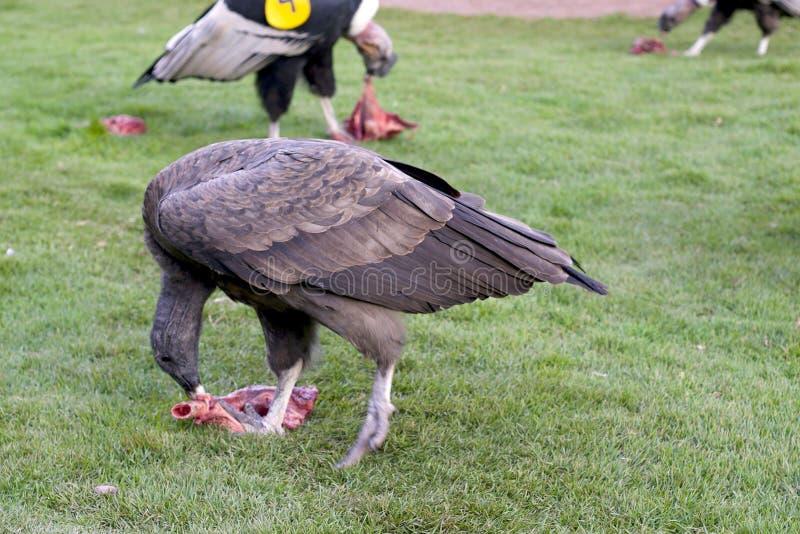 安第斯秃鹰吃 库存图片