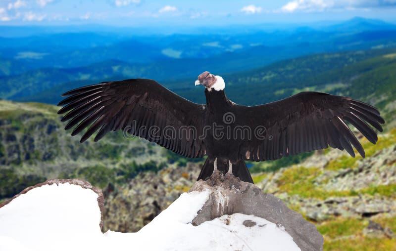 安第斯秃鹰在野生性区域 免版税库存图片
