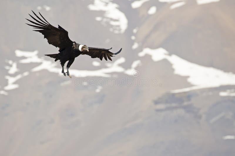 安第斯秃鹰在飞行中与山在背景中 免版税图库摄影