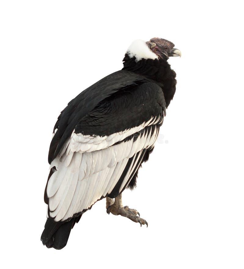 安第斯秃鹰查出在白色 库存图片
