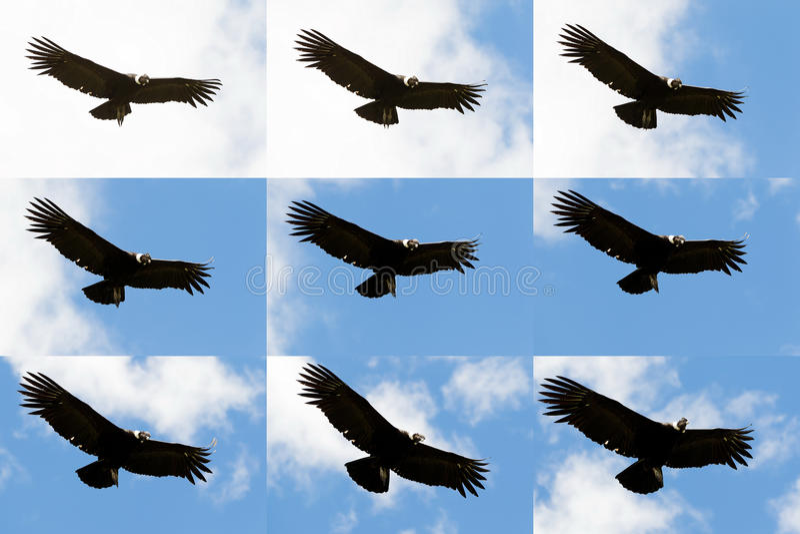 安第斯秃鹰飞行序列 免版税库存图片