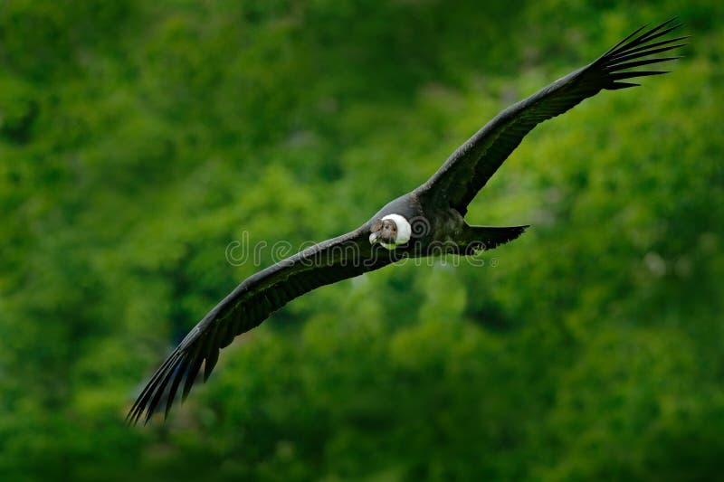 安第斯秃鹰,秃鹰gryphus,大鸷在山上的飞行 在石头的雕 鸟在自然栖所,秘鲁 免版税库存照片