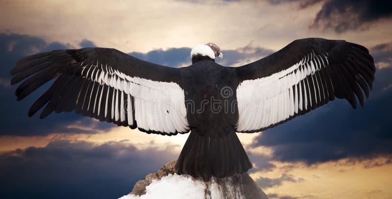 安第斯秃鹰gryphus拉丁命名秃鹰 免版税库存图片