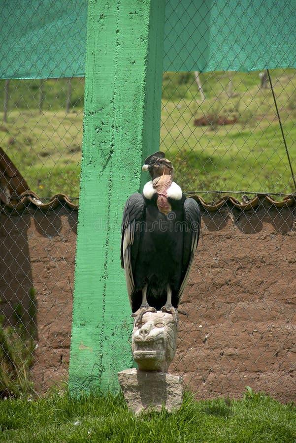 安第斯秃鹰gryphus拉丁命名秃鹰 库存图片