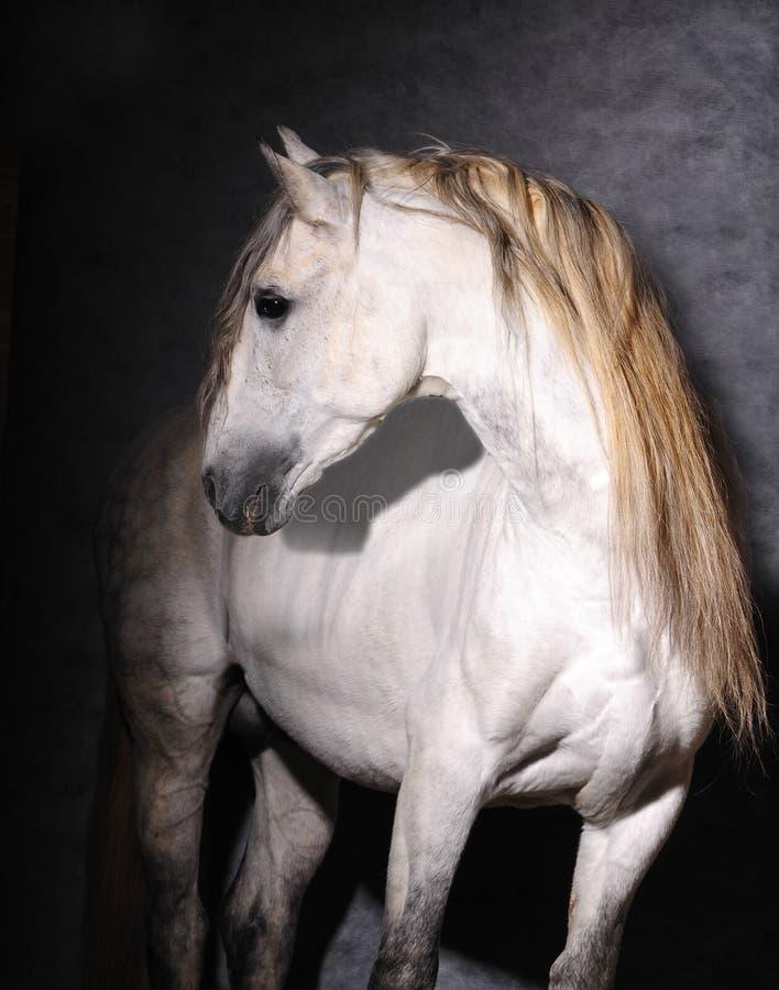 安达卢西亚的未清公马工作室 库存照片
