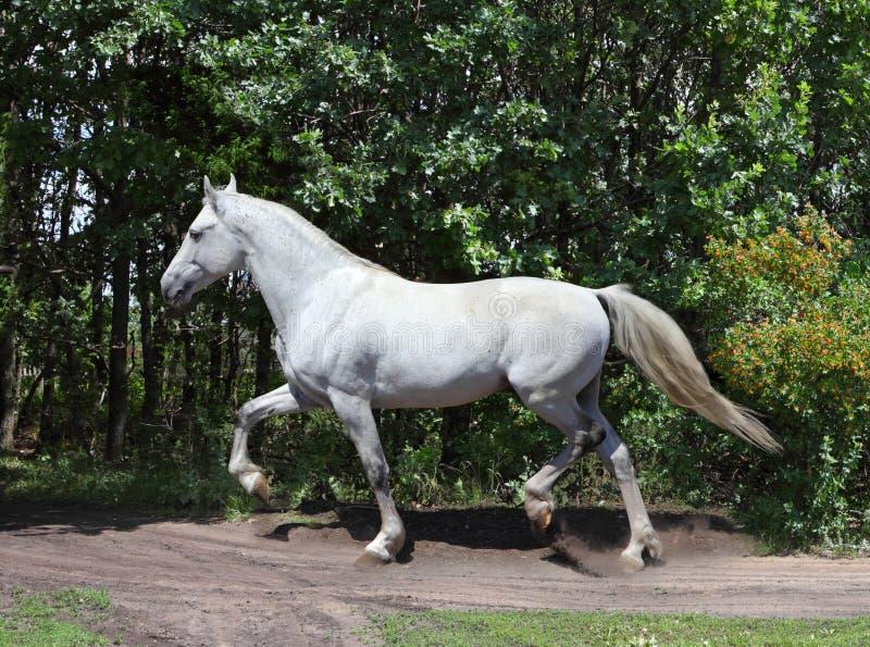 安达卢西亚的白色公马在晴天 库存图片