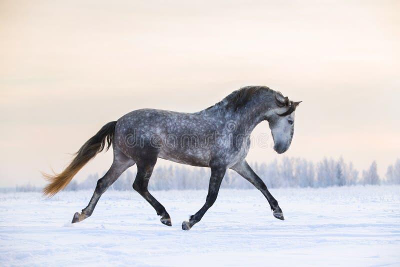 安达卢西亚的马在冬天 免版税库存照片