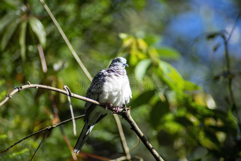 安静的鸽子栖息在澳大利亚悉尼的一枝树枝上 免版税图库摄影