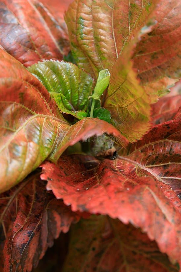 宋绒线植物与长的模糊的花的Acalypha hispida 免版税库存照片