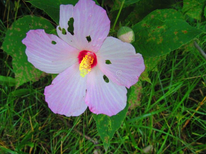 完全与小花蕾的不完美的木槿 免版税库存照片