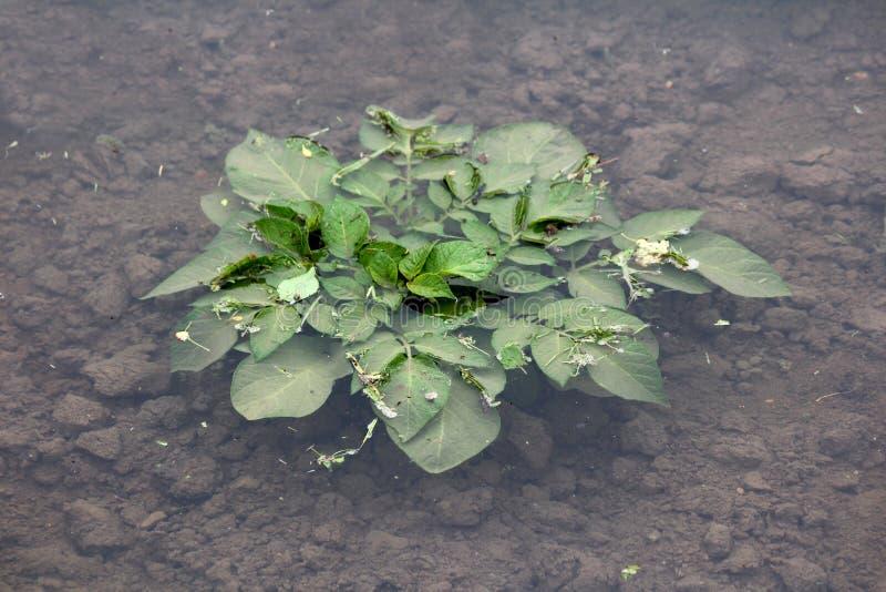 完全地充斥了在地方都市庭院里种植的大土豆植物 库存图片