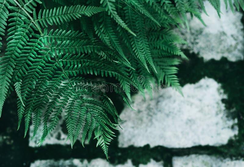 完善的自然年轻蕨在老灰色鹅卵石路面背景离开与深绿青苔在缝 黑暗和喜怒无常 库存照片