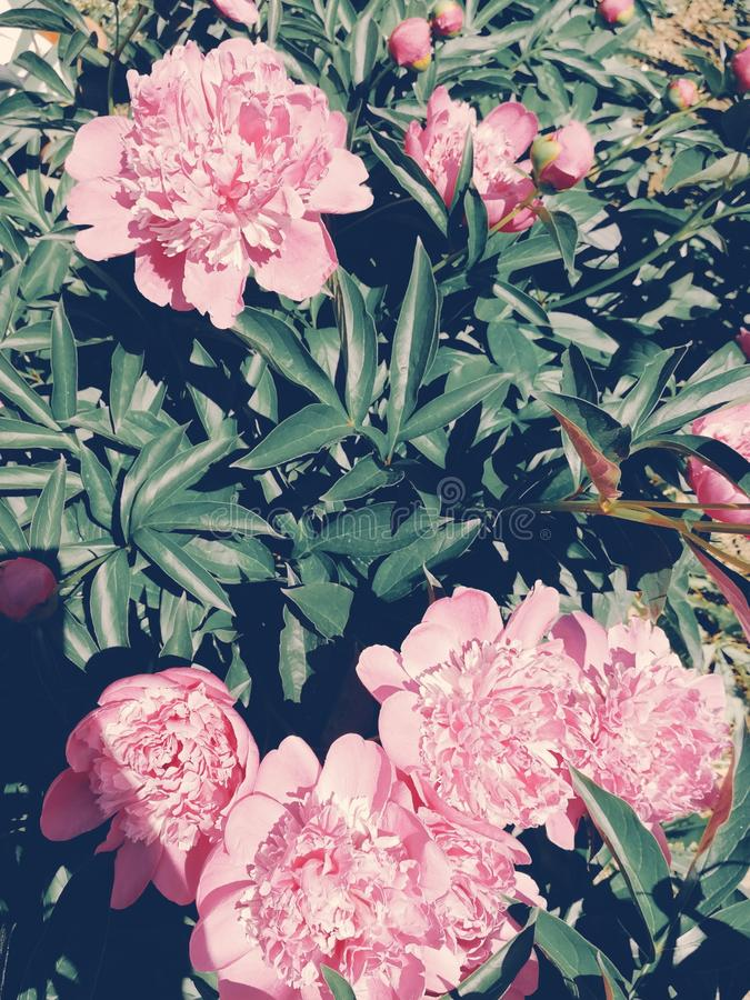 完善的花牡丹桃红色绿色 免版税库存照片