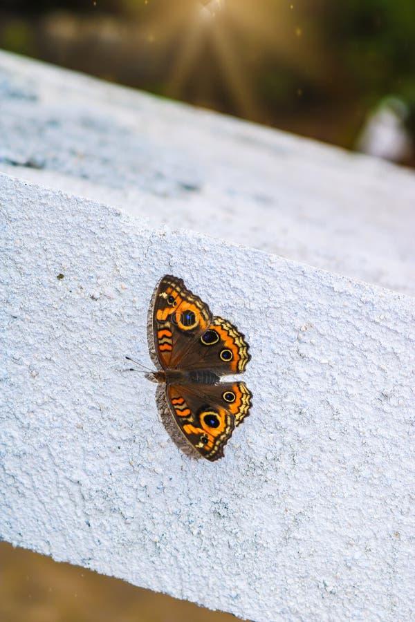完善的蝴蝶看在她惊人和美丽的翼的图画 免版税图库摄影