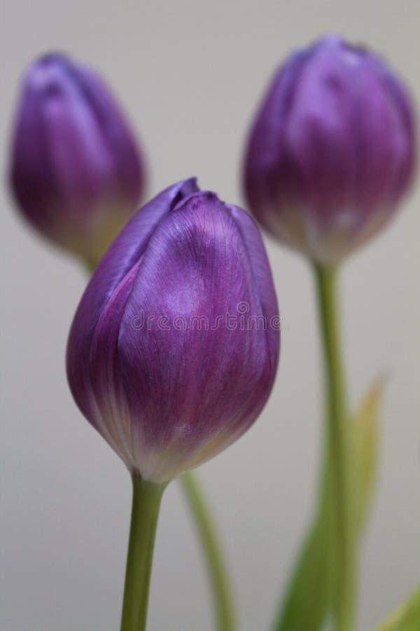 完善的紫色 免版税库存图片