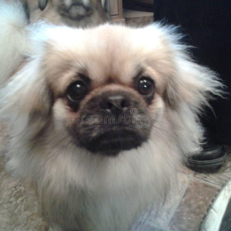 完善逗人喜爱的狗计时的照片  免版税库存照片