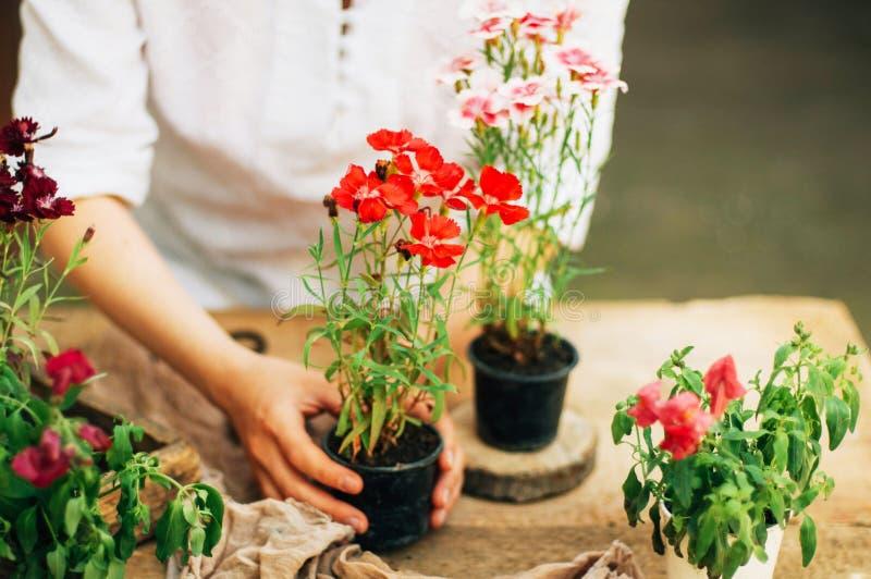 工作在庭院里,关闭妇女的手关心花康乃馨 递womans 有花的园艺工具