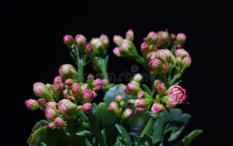 宏指令接近桃红色花Kalanchoe热带多汁植物 免版税库存图片