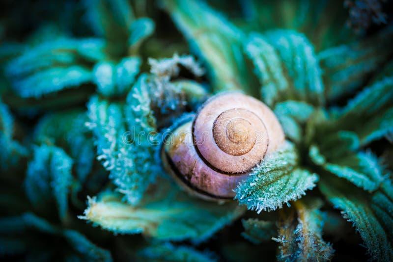宏指令-蜗牛在绿色结冰的叶子的` s壳,冬天 库存图片