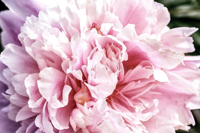 宏指令 瓣大美丽的桃红色牡丹 免版税库存图片