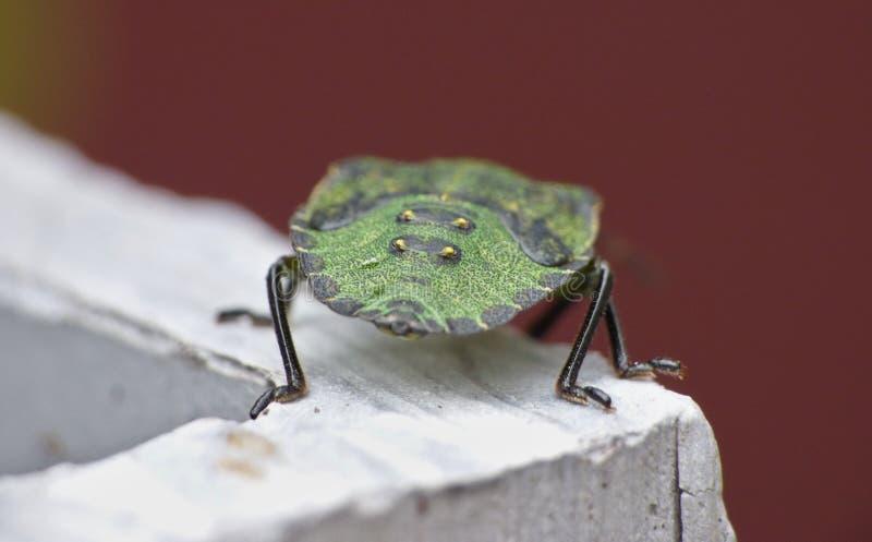 宏观关闭一个绿色盾臭虫/恶臭臭虫,在英国拍的照片 库存照片