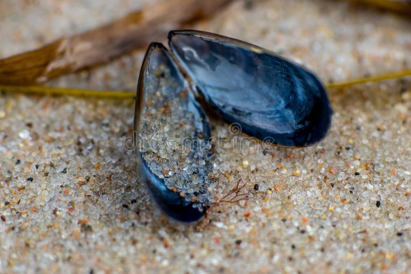 宏观关闭与详细的沙粒的蓝色贻贝 免版税库存照片