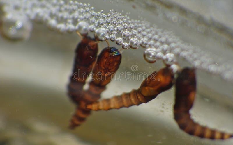 宏观关闭在一个木盆找到的蚊子幼虫在庭院里,在英国拍的照片 免版税图库摄影
