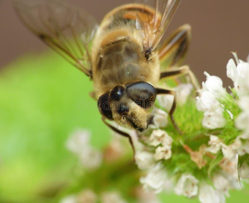 宏观关闭在花的蜂收集花粉照片的拍在英国 免版税库存图片