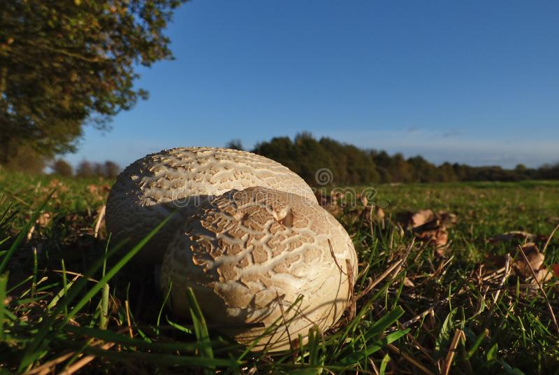 宏观关闭生长户外在草原,秋天季节的蘑菇/真菌 在英国拍的照片 免版税库存图片