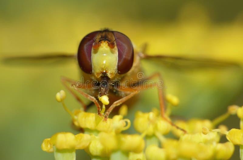 宏观关闭突然上升从庭院,在英国拍的照片的hoverfly收集的花粉 库存图片