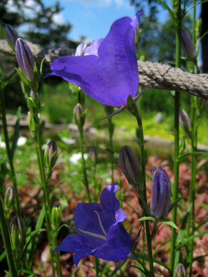 宏观喀尔巴阡山脉的响铃的照片美丽的紫色夏天花 免版税库存图片