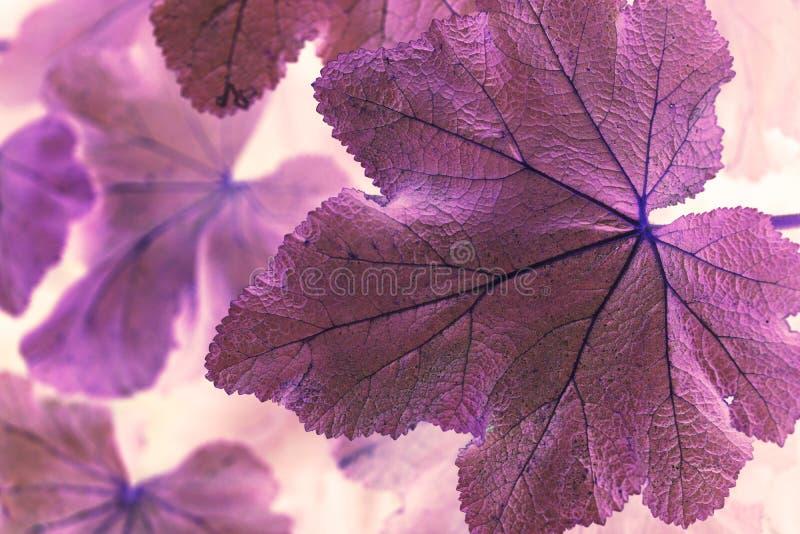 宏观射击摘要紫色叶子 库存照片