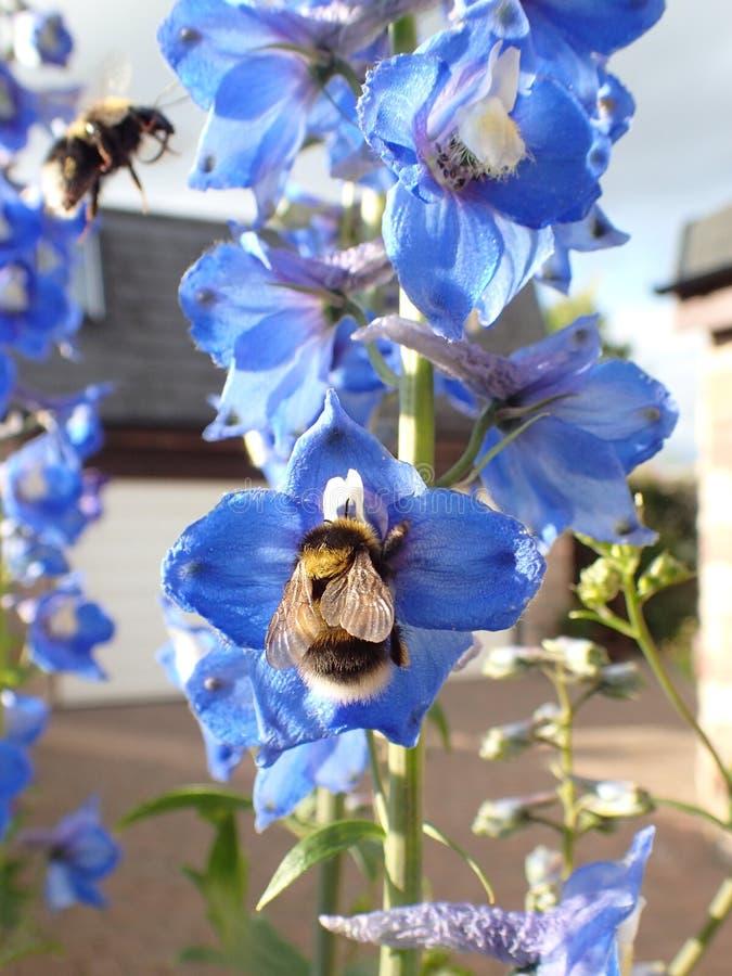 宏观射击两弄糟在蓝色坎特伯雷吊钟花的蜂 免版税库存图片