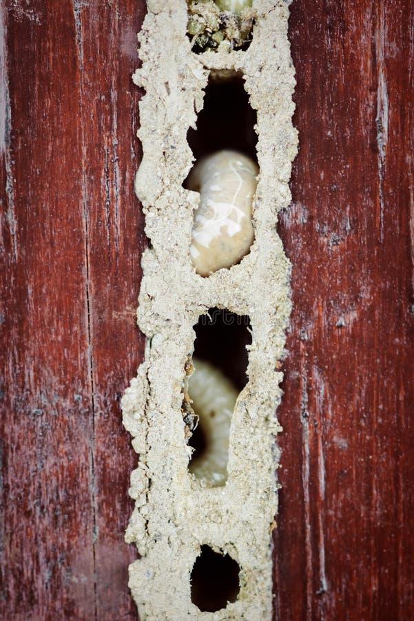 宏观幼虫蛆的木蠕虫巢关闭损坏了家具 免版税库存照片