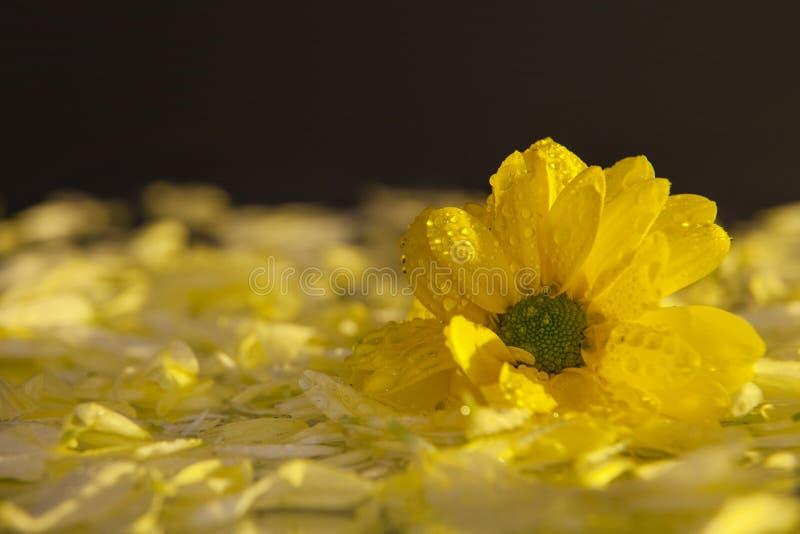 宏观摄影美丽,湿,黄色花的芽,在说谎在湿镜子的瓣背景  免版税库存图片