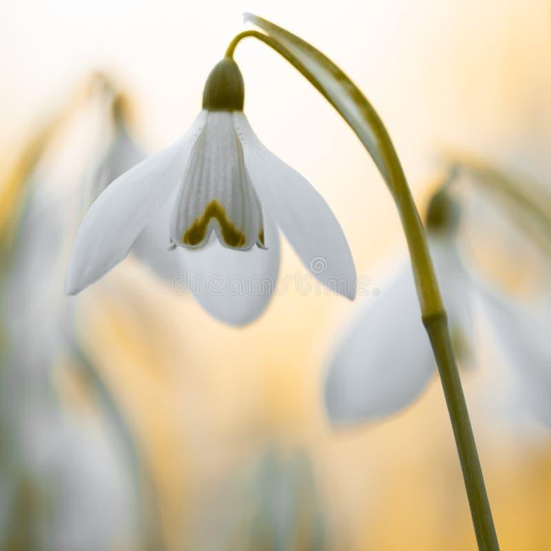 宏观春天花- snowdrops Gallanthus在白色背景隔绝了 库存图片
