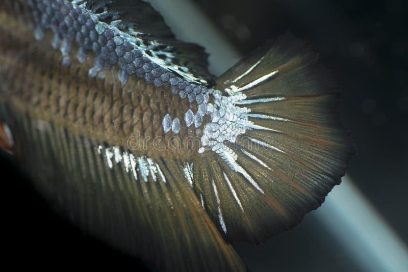 宏观暹罗战斗的鱼, Betta鱼's飞翅尾巴 免版税图库摄影