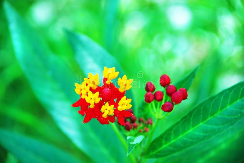 宏观极端特写镜头澳大利亚五颜六色的红色黄色野花兰花 免版税库存照片