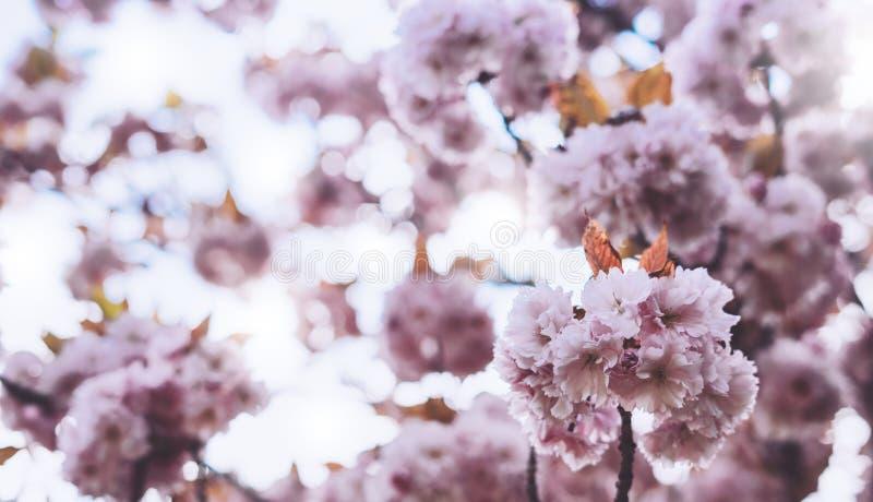 宏观桃红色开花樱桃树在春天庭院,在背景特写镜头的佐仓树,卡片的美丽的浪漫花清洗 库存照片