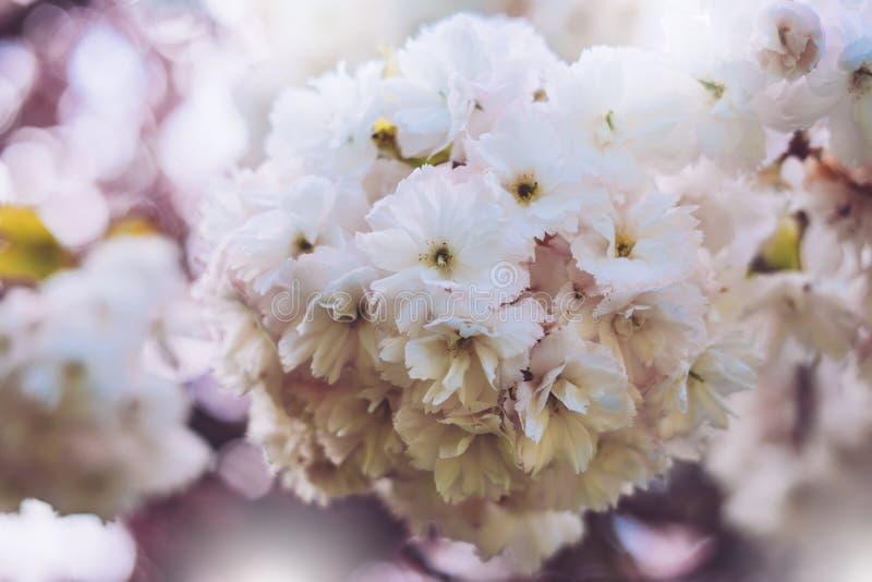 宏观桃红色开花樱桃树在春天庭院,在背景特写镜头的佐仓树,卡片的美丽的浪漫花清洗 免版税库存图片